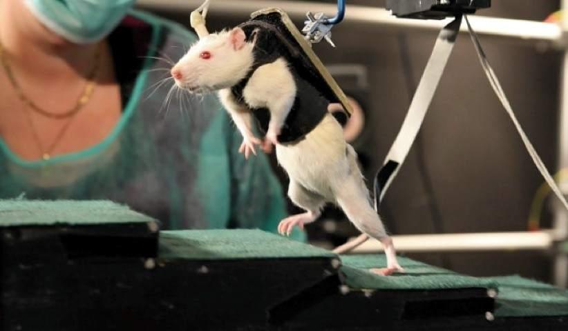 Logran que ratas con parálisis caminen 25 minutos sin fallos