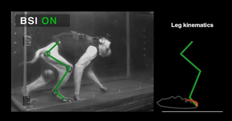 dos-monos-paraliticos-vuelvan-a-caminar-gracias-a-un-implante-cerebral